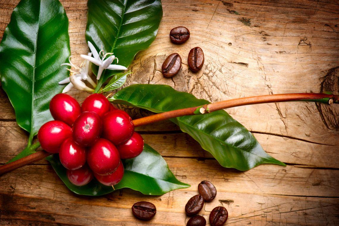 planta_de_cafe_