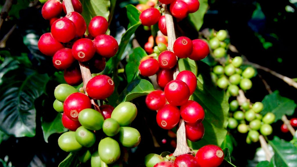 planta_de_cafe_1